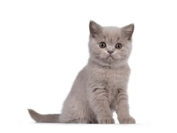Cute lilac British Shorthair cat kitten, sitting side ways. Looking towards camera with round brown eyes. isolated on white background.