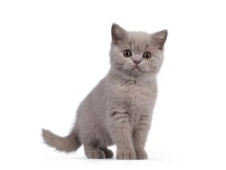 Cute lilac British Shorthair cat kitten, standing side ways. Looking towards camera with round brown eyes. isolated on white background.
