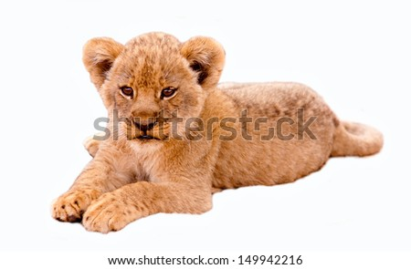 Cute lion cub isolated in white