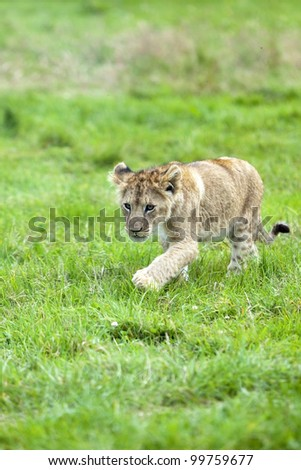 Cute Lion cub runs through the grass