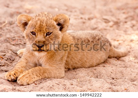 Cute lion cub sitting in the sand