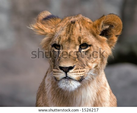 Cute lion cup - stock photo