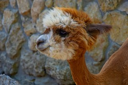 Cute little alpaca (lama animal, llama) baby in farm. Beautiful pretty alpaca or llama on stone background. Funny animal portrait. Close up tender young alpaca from llama farm or zoo. Furry lama baby