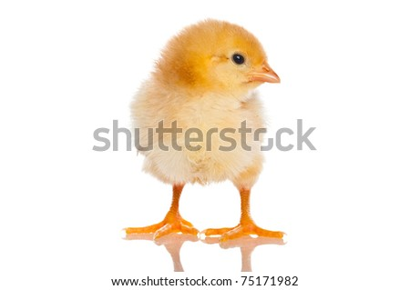 Cute little baby chicken against white background