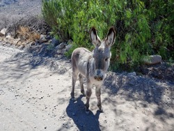 cute little baby donkey foal standing on a gravel road in Peru, South America
