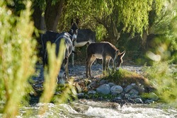 cute little baby donkey foal standing together with its family on river bank in a lush green valley in Peru, South America