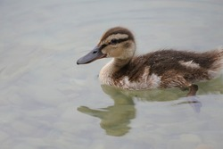Cute little baby duck swim on the lake