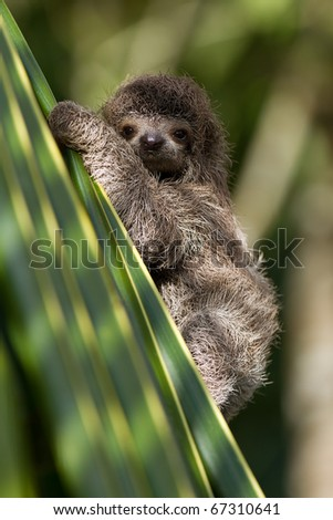cute little baby three-toed sloth, looking at you