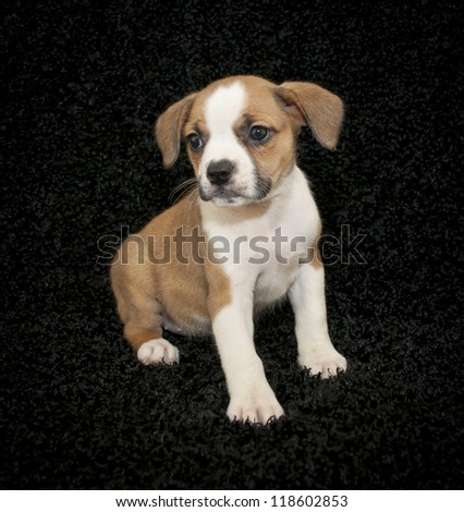 Cute little Beagle mix puppy sitting on a black background.