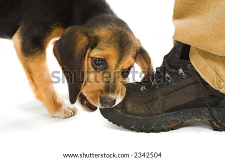 Cute little beagle puppy dog chewing on a walking shoe or boot
