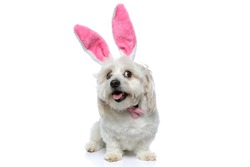 cute little bichon dog looking away, panting and wearing pink bunny ears with bowtie against white background