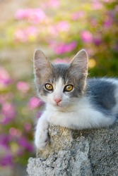 Cute little bicolor cat kitten with yellow eyes resting on a rock in front of pink flowers and watching curiously, Rhodes, Greece