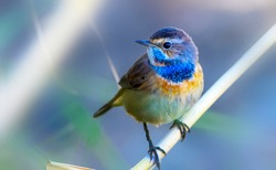 Cute little bird. Blue nature background. Common bird: Bluethroat.