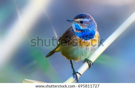 Cute little bird. Blue reeds background. Common bird: Bluethroat.