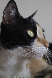 cute little black, brown and white cat portrait close-up