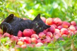 Cute little black kitten lying on back on red organic apples on green grass