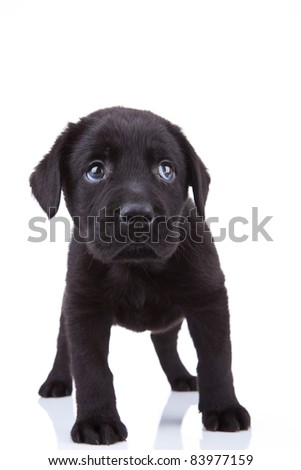 cute little black labrador retriever puppy standing on a white background, looking shy - stock photo