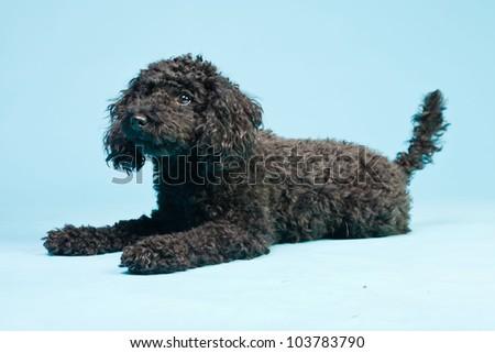 Cute little black poodle dog isolated on light blue background. Studio shot.
