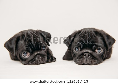 Cute little black pug pictures