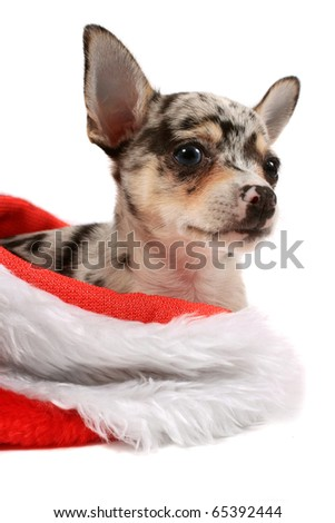 Cute little black spotted chihuahua inside a christmas stocking
