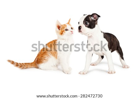 Cute little Boston Terrier puppy standing to the side looking at an adorable orange and white kitten.