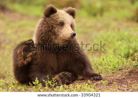 Cute little brown bear cub sitting in the grass