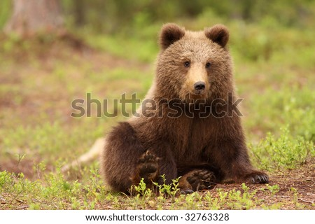 Cute little brown bear sitting and looking at you