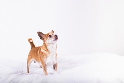 Cute little brown chihuahua looking overhead with copy space