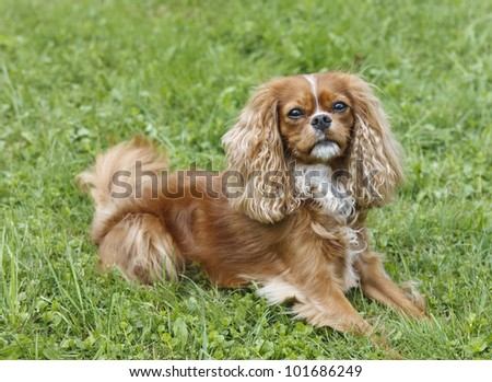 Cute little brown dog Cavalier King Charles Spaniel sitting in the grass