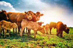 Cute little calfs grazing with cows. Agricultural background