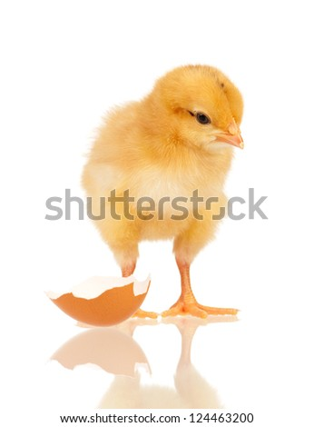 Cute little chicken and egg shell isolated on white background