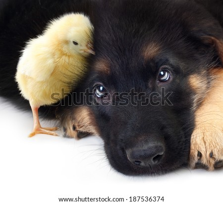 Cute little chicken and puppy german shepherd dog on a white background