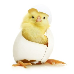 Cute little chicken coming out of a white egg isolated on white background