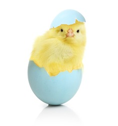 Cute little chicken coming out of the Easter egg isolated on white background