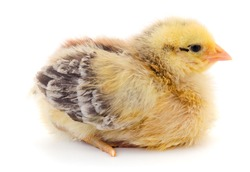 Cute little chicken isolated on white background.