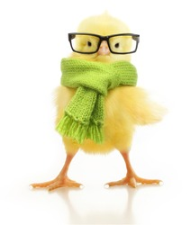 Cute little chicken isolated on white background