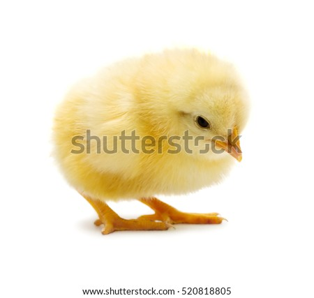 cute little chicken isolated on ...
