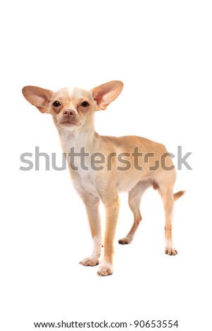 Cute little chihuahua dog portrait on a white background