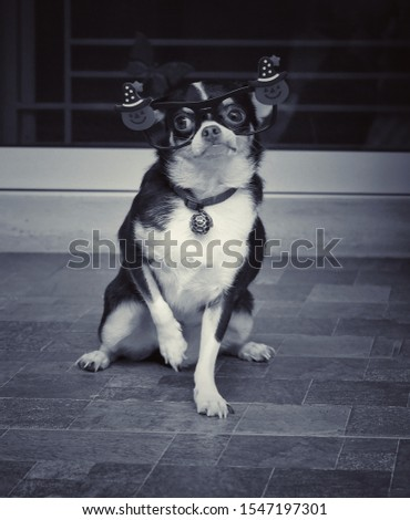 Cute little Chihuahua dog with funny decoration eyeglass. Adorable healthy Chihuahua staring to the camera. Concept of a happy pet or well grooming. Black and white dog pictures.