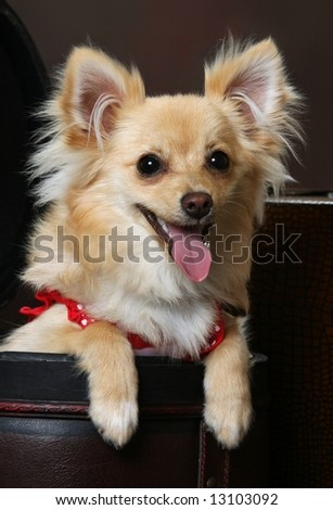 Cute little Chihuahua-Pomeranian mix  dog sitting in old fashion luggage with pink outfit