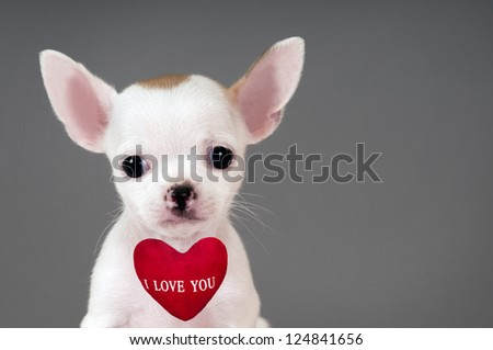 "Cute little Chihuahua puppy with sign ""I Love You""."