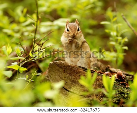 Cute little chipmunk sits on a log cleaning herself