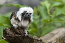 cute little cotton-head monkey - sitting on a branch