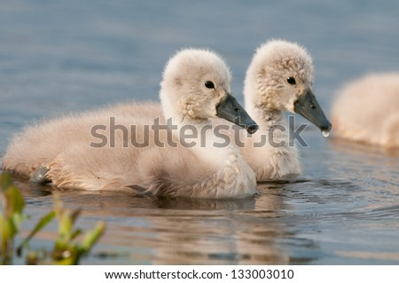 Cute little cygnets on a lake in the summer