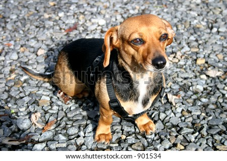 Cute Little Dachshund