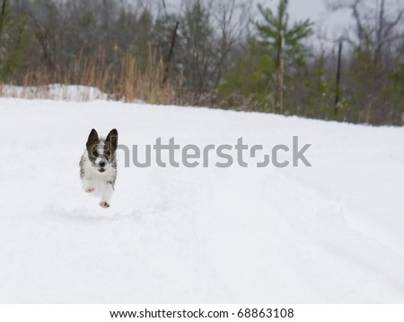 Cute little dog running fast in the snow
