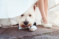 cute little dog sitting in a suit under bride dress