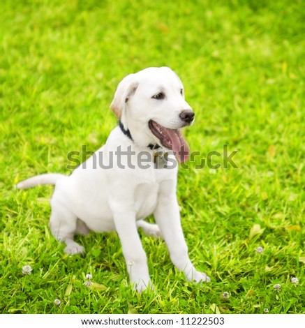 cute little dog staying on grass looking to the side. the breed is labrador mixed white cream color