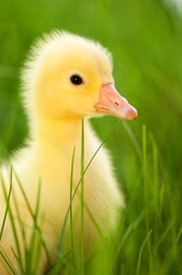Cute little domestic gosling in green grass