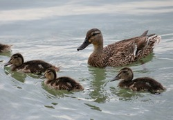 Cute little duck family on the lake